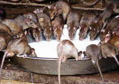 Temple of Rats