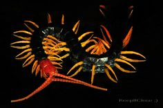 Scolopendra Heros (Giant Red-headed Centipede)