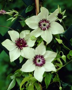 clematis durandii stauden clematis clematis integrifolia durandii klematis pinterest. Black Bedroom Furniture Sets. Home Design Ideas