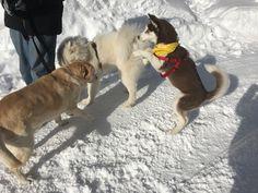 Snow dogs Red Siberian Husky, Snow Dogs, Animals, Animales, Animaux, Animal, Animais