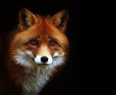 Red fox, just breath taking