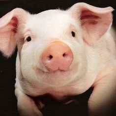 """♥ FARM SANCTUARY - """"Farm Sanctuary was founded in 1986 to combat the abuses of factory farming and to encourage a new awareness and understanding about 'farm animals'. At Farm Sanctuary, these animals are our friends, not our food."""" Website: http://www.farmsanctuary.org/"""