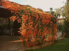 Orange Flowering Vines | Flame Vine