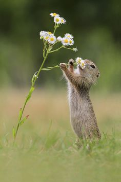 Ground squirrel  smelling the flowers... Connoisseurs of Julian wheel