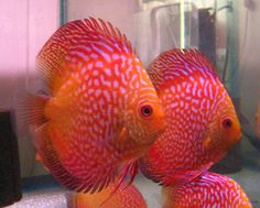 (http://www.macsdiscus.com/golden-ribbon-snake-discus-fish-breeder-pair/)