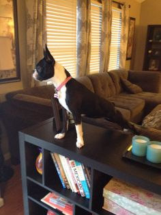 Watching the ducks outside. Minnie boston terrier