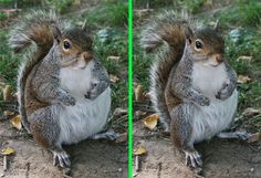 Fake - Fat Squirrel - The original image is on the right.