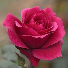 Rosier 'Charlotte Rampling®' Meihirvin - Plantes et Jardins