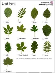 Ticklist of common tree leaves. Get kids outdoors exploring with this fresh activity from the Woodland Trust's nature detectives website. Bring the outdoors into your classroom with this inspiring activity from the Woodland Trust's nature detectives we. Forest School Activities, Nature Activities, Outdoor Activities For Preschoolers, Flower Activities For Kids, Summer Holiday Activities, Science Nature, Leave In, Outdoor Education, Outdoor Learning