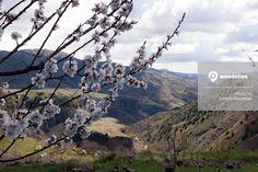 The Renaissance season in #Armenia.... when the apricot tree blossoms. #Spring #Garni