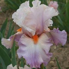 TB Iris 'Val de Loire' (Cayeux, 1999)