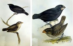 Finches  http://library.sc.edu/spcoll/nathist/darwin/finches.jpg