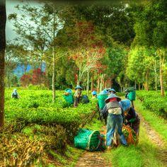 Indonesia - Java - Perkebunan Malabar (Malabar Tea Plantation)