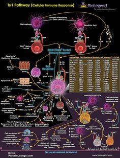 TH1 Pathway (Cellular Immune Response)