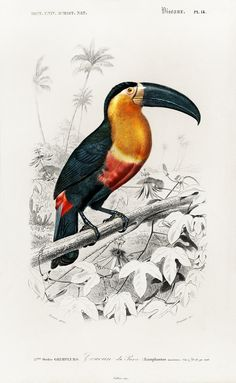 Toucan (Ramphastos) illustrated by Charles Dessalines D' Orbigny (1806-1876). Digitally enhanced from our own 1892 edition of Dictionnaire Universel D'histoire Naturelle. | free image by rawpixel.com