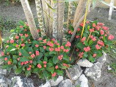 Crown of Thorns propagates in several different ways, but cuttings provide the simplest and most fool-proof method of creating new plants. Succulents In Containers, Container Plants, Cacti And Succulents, Planting Succulents, Garden Plants, House Plants, Container Gardening, Desert Flowers, Desert Plants