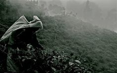 Tea harvest by Ivoryne O - Woman croping tea in Sri Lanka Click on the image to enlarge.