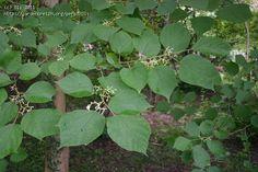 Alangium chinense  : petit arbre, fleurs parfumées en été,  jolie fructification et joli feuillage jaune en automne