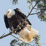 Bald Eagle by tonymitra