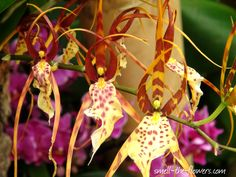 Ballerina Orchid - Take a look at this unusual orchid, it looks like a group of ballet dancers holding their hands above their head and performing some kind of a complex dance.