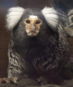 Marmoset / Calitrix = gr. beautiful fur