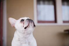 © Maria Villan Photography #Frenchie #bulldog, #pet-photographer