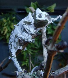 Chameleon shedding it's skin