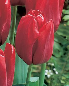 Tulipa 'Seadov' - April to May flowering (30 cm high)