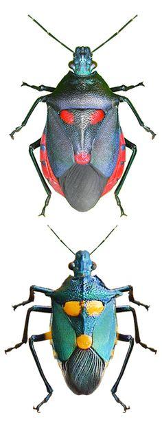 Euthyrhynchus floridanus