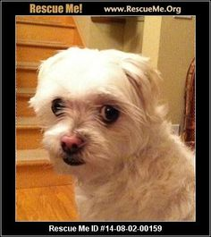 -08-02-00159Pinky (male)  Maltese Mix  Age: Adult  Compatibility:Not Good w/ Other Dogs, Not Good w/ Cats, Good w/ Adult Women Only Personality:Low Energy, Very Submissive Health:Neutered, Abused/Neglected  He got his name from his adorable pink nose. Pinky's first home was with a older lady who passed. His second home was with her daughter who already had too many dogs and couldnt keep him. His third home was with a elder lady again, and her granddaughter. The elderly lady…