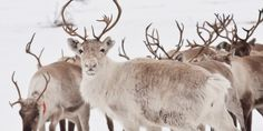Crucial Caribou Habitat Lost To Energy Industry - Article
