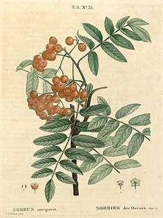 Sorbes aucuparia. Mountain ash, Lijsterbes Duhamel du Monceau, Traité des arbres et arbustes, Nouvelle édition, (1806) [P.J. Redouté]