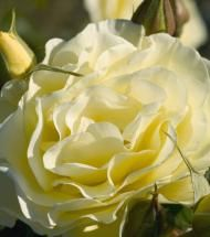 Rose/ Easy Elegance High Voltage   Pinelane Nursery Shockingly beautiful, clusters of yellow blossoms are held high on sturdy canes. Super clean foliage compliments the fragrant, double blooms. Upright, vase-shaped habit will stand up in the back of the border or as an accent.