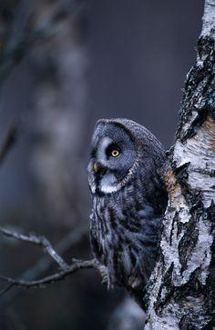 GREAT GREY OWL ON SILVER BIRCH TREE