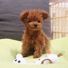 Smirking toy poodle (ig: @bibi_shasha) http://ift.tt/2auIRwF