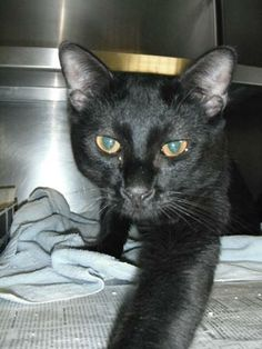 Meet Justin - Meet me at Petco Amherst! a Petfinder adoptable Domestic Short Hair-black Cat | Manchester, NH | For up-to-date info like events, closings, new animals, success stories please LIKE Manchester...