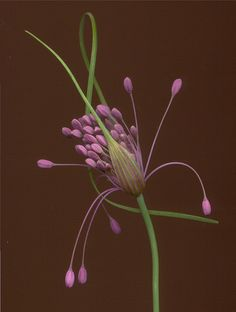 01694 Allium firecracker 700 by horticultural art, via Flickr
