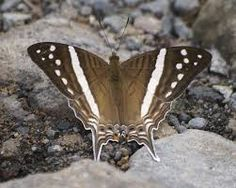 Image result for marpesia chiron butterfly images