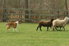 Collie herding sheep.