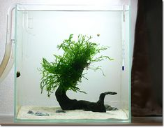 "Minmalist mini-scape.  A home for a pygmy puffer... A very unusual and refreshing little ""scape"".  aquascapingworld.com"