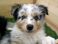 Mini Australian Shepherd Puppy...have you ever seen such a cute face!