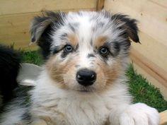 Australian Shepherd Blue Merle Puppies #dog #shepherd #animal