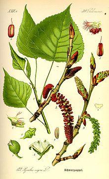 Les peupliers sont des arbres du genre Populus de la famille des Salicacées. Le genre Populus englobe 35 espèces des régions tempérées et froides de l'hémisphère nord. --- http://www.itrcweb.org/Guidance/GetDocument?documentID=64