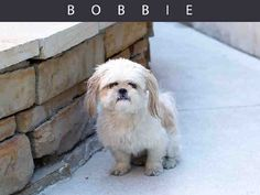 Bobbie is a great little dog with a big personality. He does require an experienced home that will continue to work with him on training and socialization. Bobbie requires an adult only home and will not be adopted out to a home with children.