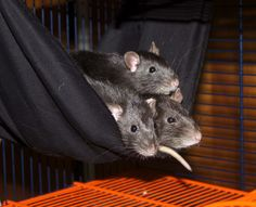 Rats love beds like this...anything somft in the form of a hammock = win for rats.