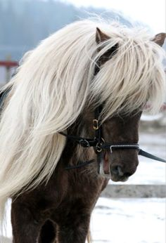I really, really, really love this cute little pony with the full bushy white blond mane and chocolate colored coat. Awe....