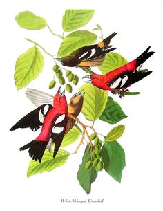 Audubon Bird Print White Winged Crossbill Vintage Print