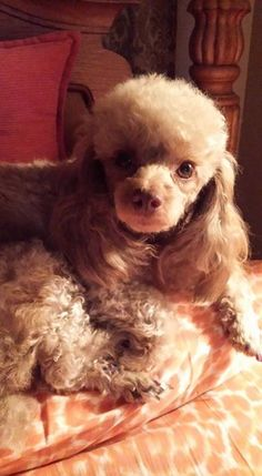 Little Coco Cavali presented by Nyla Enroth....  Thank you for sharing...