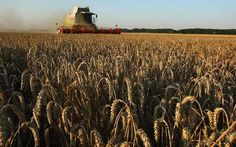 08/14/2010 - Livestock farmers hit by rising wheat price - The Telegraph