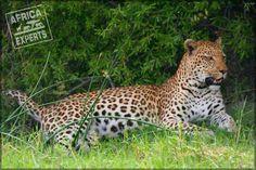Botswanan eläimet Panther, Safari, Animals, Animales, Animaux, Panthers, Animal, Animais, Black Panther